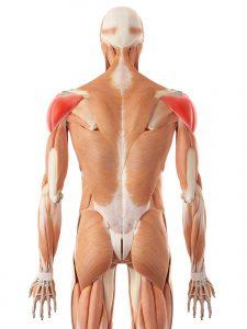 deltoid muscle injury