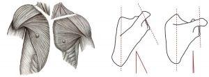 Shoulder Joint evolution