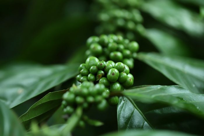 Arabica and rustica coffee beans
